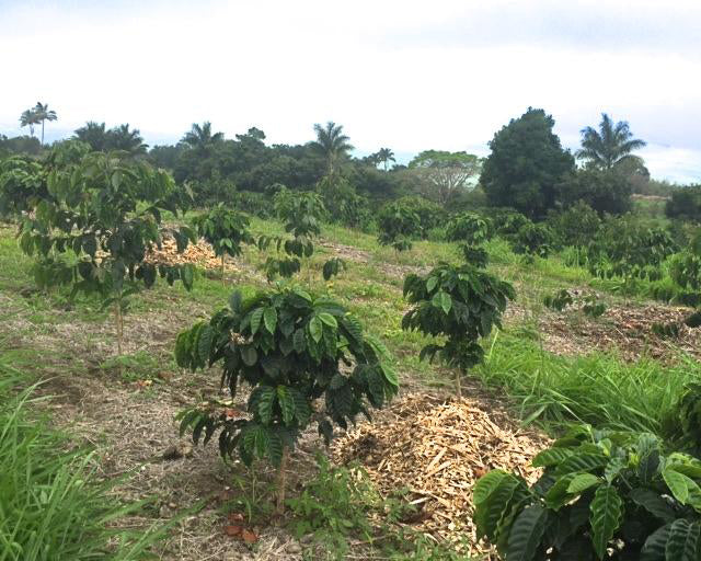 Kona Coffee Farm Report #6
