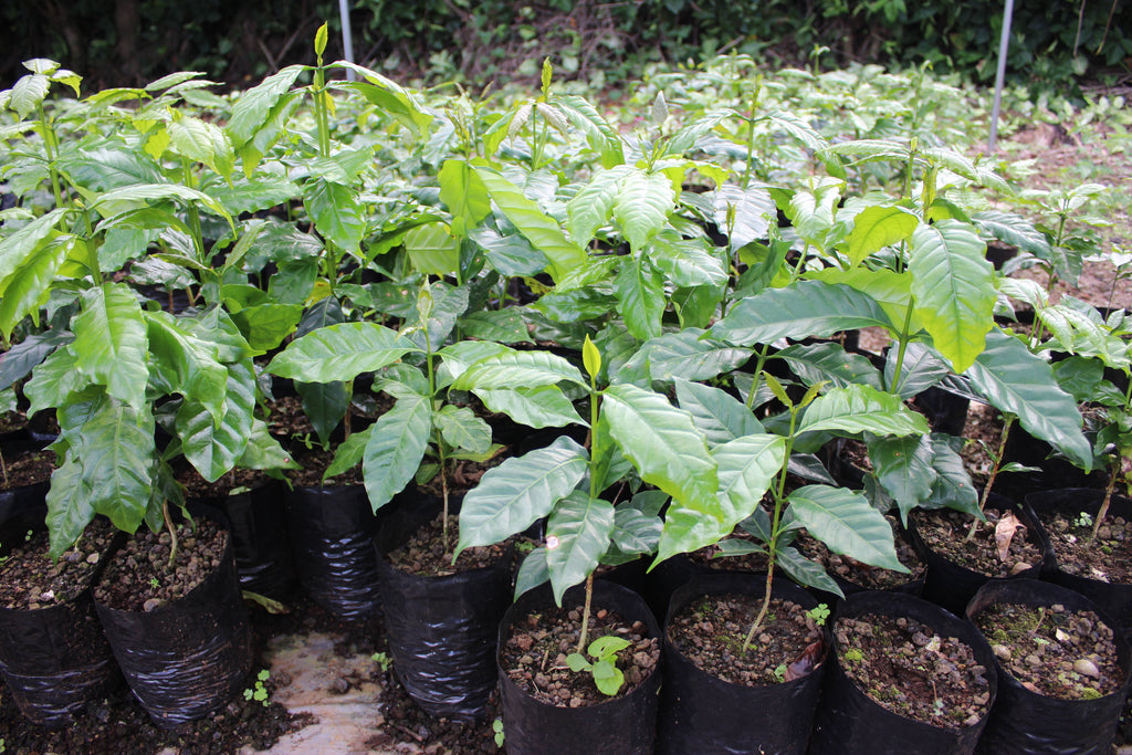 Kona coffee plants growing in the soil