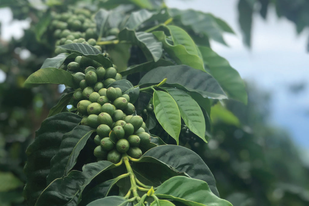 Kona Coffee Farm | Honolulu Coffee