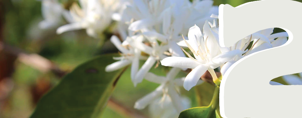 A Kona coffee plant blossoming a white flower in April.
