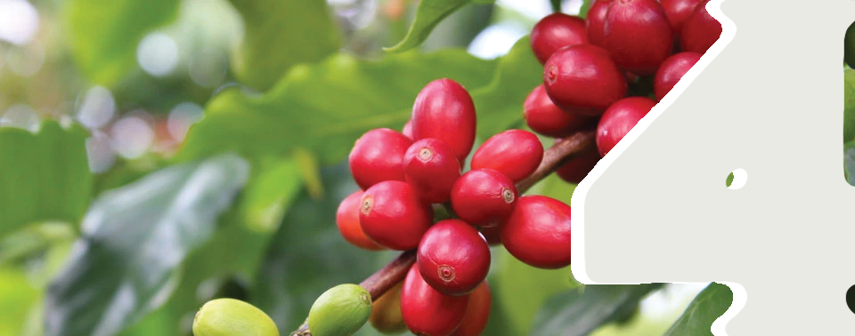 Red, ripe Kona coffee cherries growing on the coffee plant.