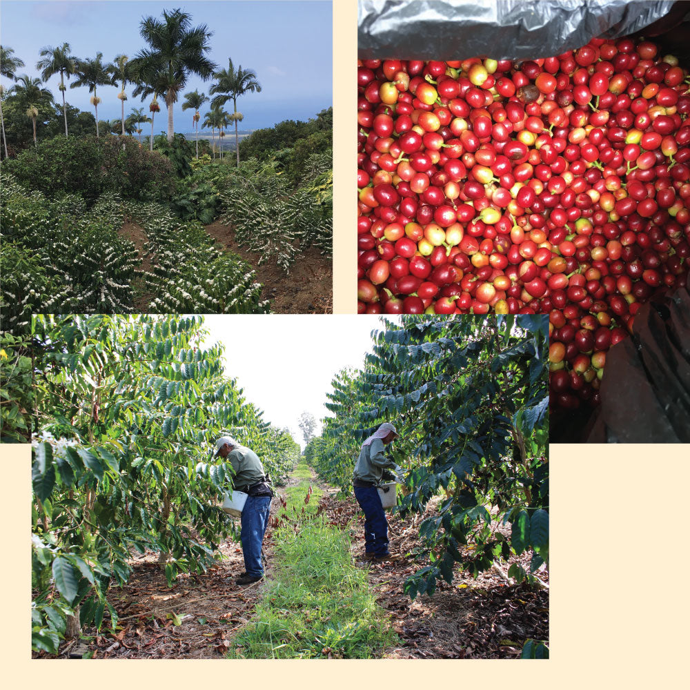 A collage of pictures from our farm - plam trees growing next to coffee plants, ripe red coffee cherries, and workers on the Kona coffee farm harvesting coffee cherries
