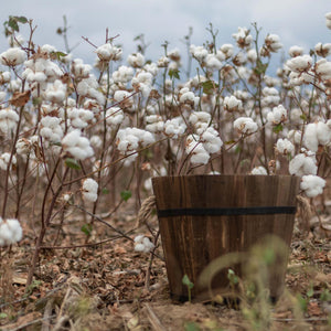 Kala Cotton – The Indigenous Organic Cotton From India