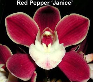 "Red Pepper ""Janice"""