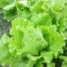 Load image into Gallery viewer, 5 Types 1000 Seeds Lettuce Vegetable Seeds Garden Sow Buttercrunch Icebreg Romaine Little Gem Salad Mixed Home Garden Plant Seeds