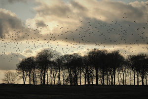 Murmurations, Winter Trees and Dusky Moonlight