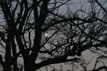 Load image into Gallery viewer, Murmurations, Winter Trees and Dusky Moonlight