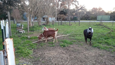 Goats Eating Christmas Trees
