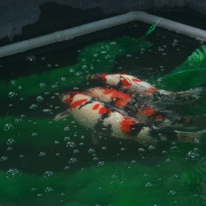 Breeding Koi