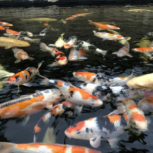 Diagnosing and treating sick Koi