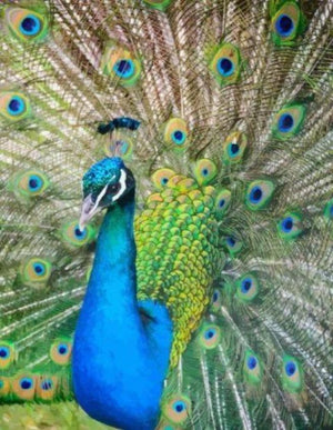 Peacock - Paint by Numbers HD