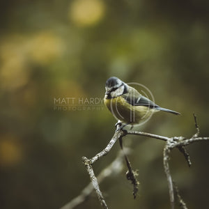 Blue Tit 2 Photo Print