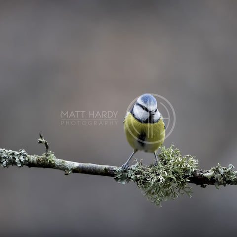 Blue Tit Photo Print