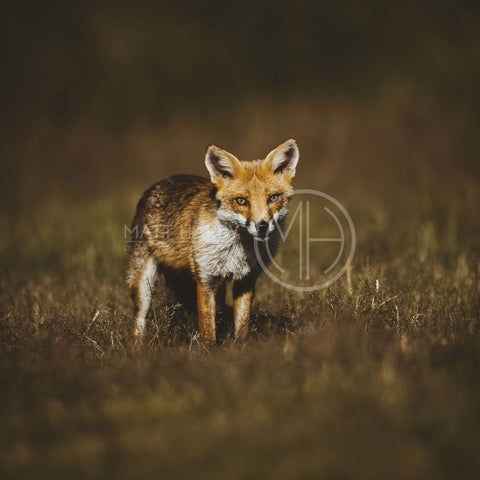 Foxes 14 Photo Print