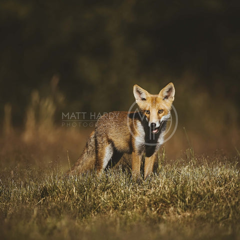 Foxes 16 Photo Print