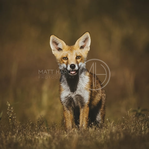 Foxes 17 Photo Print