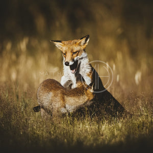 Foxes 24 Photo Print