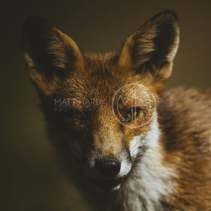 Foxes 3 Photo Print