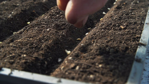 sowing pepper seeds