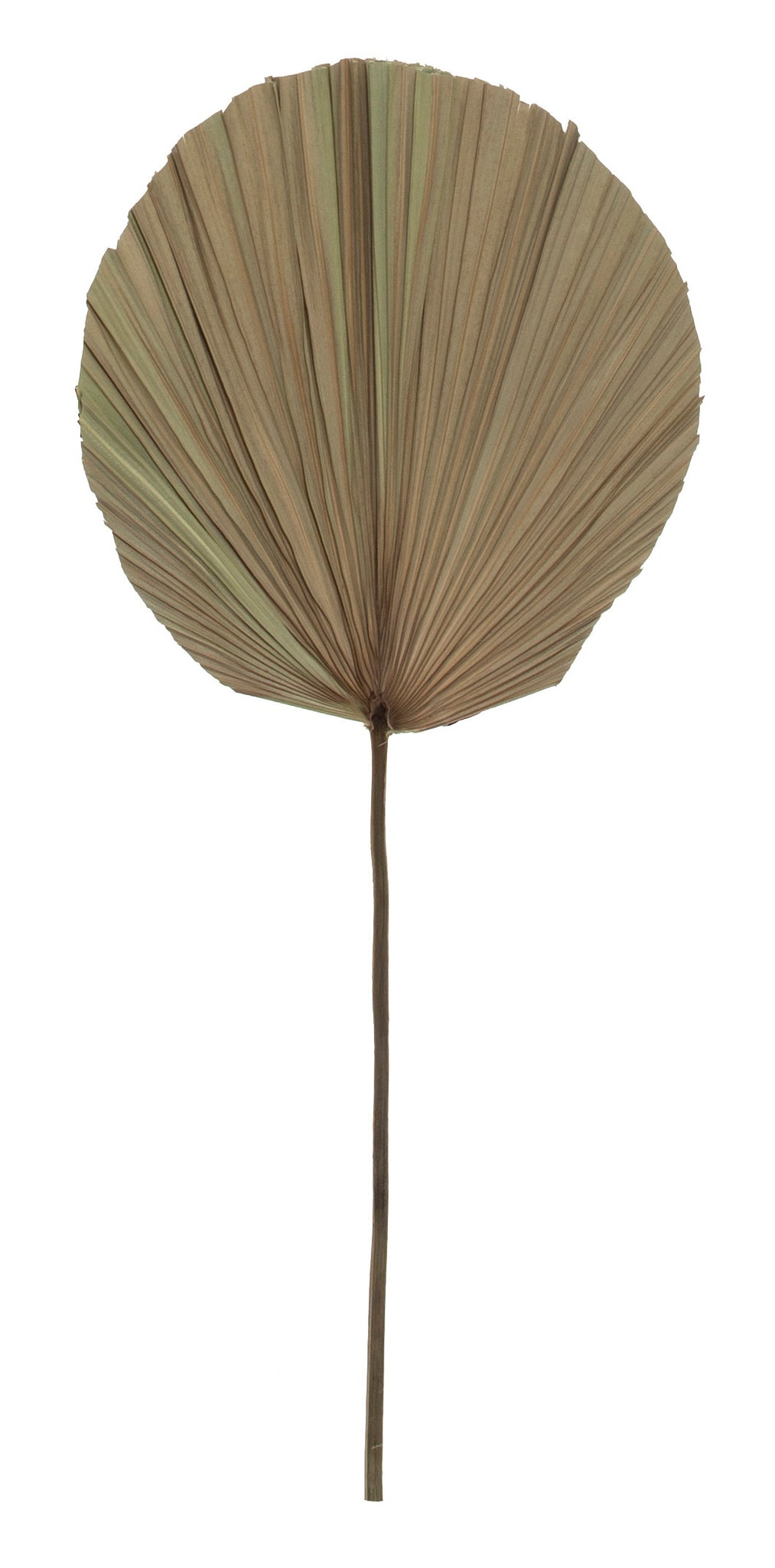 Dried Cut Fan Palm