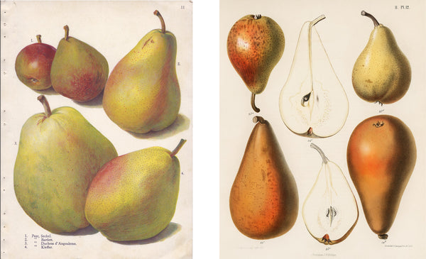 Illustrations of pears