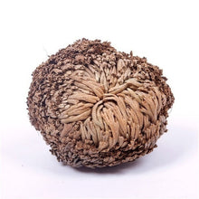 Load image into Gallery viewer, 2PCS 4PCS 6PCS  Magic Resurrection Plant Rose of Jericho Dinosaur Plant Air Fern Selaginella Moss
