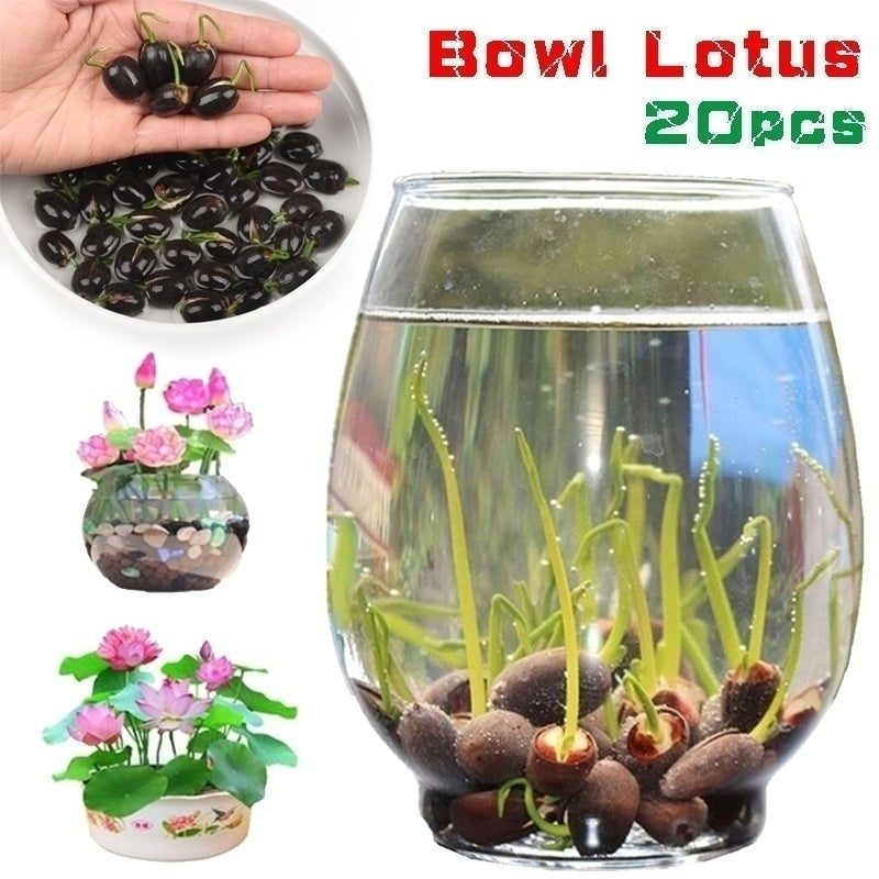 20pcs Water Lotus Flower Plant Bowl Lotus Pond Bonsai Flowers for Home Garden Yard Decor