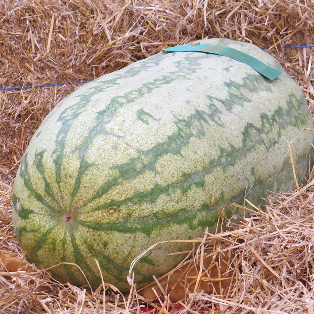 *GIANT CAROLINA CROSS WATERMELON*10 SEEDS*TASTY*