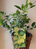 Lime Tree - fleurissantshop