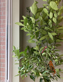 Calamondine Orange Tree - fleurissantshop
