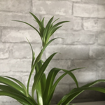Load image into Gallery viewer, spider plant, 4""