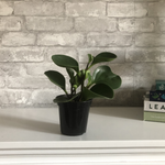Load image into Gallery viewer, peperomia obtusifolia, 4""