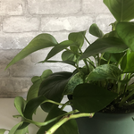 Load image into Gallery viewer, pothos, 6""