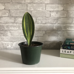 Load image into Gallery viewer, whale fin sansevieria