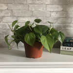 Load image into Gallery viewer, philodendron, 6""
