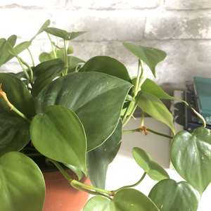 philodendron, 6""