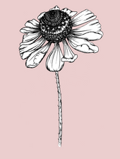 Helenium On Pink | Giclée Print - Felicity & Ink