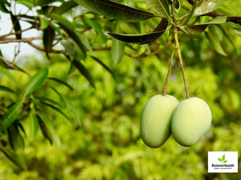 Field Trial Results on Mango - BotanoHealth Organic Protection