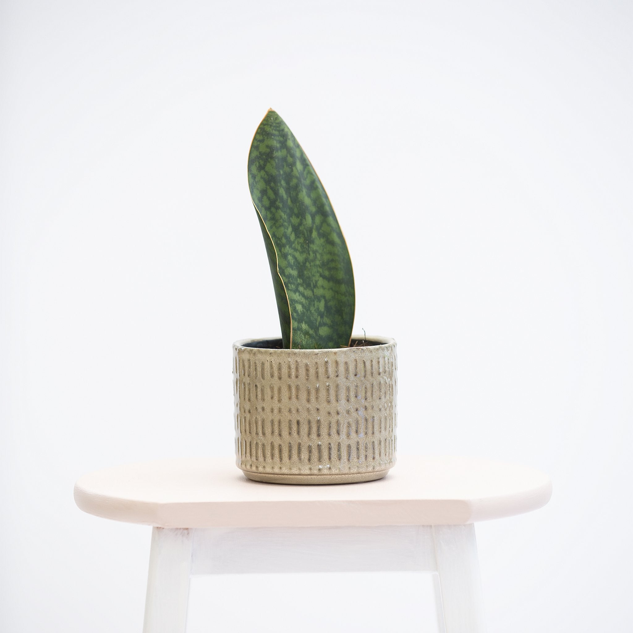 Sansevieria Victoria or Snake Plant Victoria. Smaller single stem plant with lovely green pattern foliage. Displayed in San Fran plant pot.