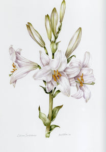 White Madonna Lily