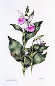 Lady's Slipper by Carol Paton