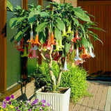 100 Pcs Mix Datura Stramonium Brugmansia Seeds Potted Bonsai  Trumpets Angel Flower Plants Seed for Home Garden