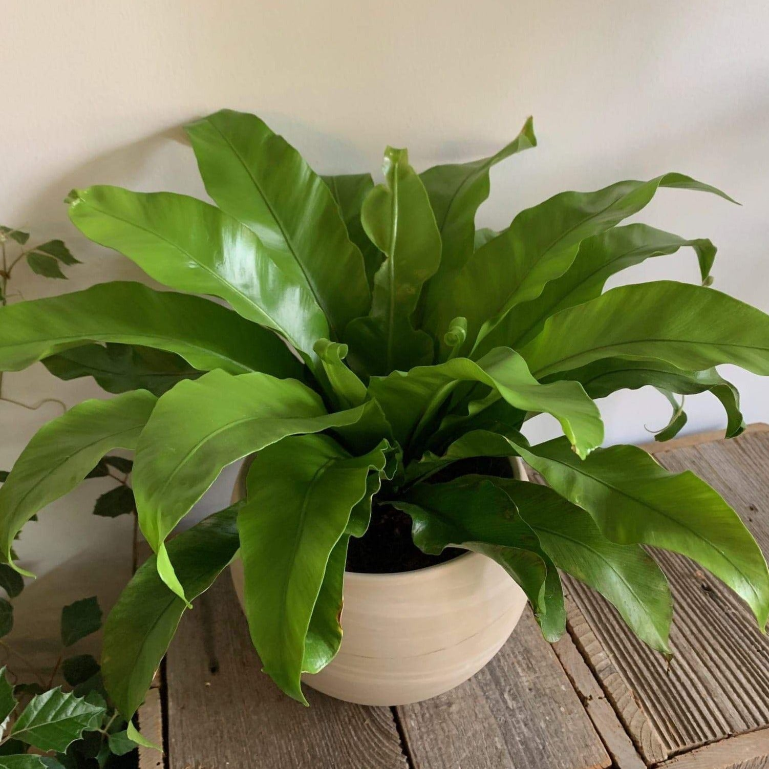 Bird's Nest Fern - Daily floral delivery from Botanica Floral Design