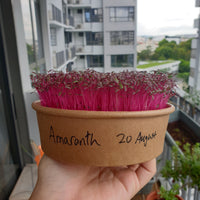 Amaranth microgreens ready for harvest in a tub
