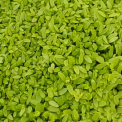 Chinese Celery Seeds