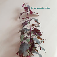 Orach, Fire Red Seeds
