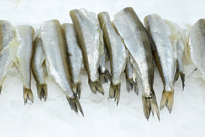 pan ready smelt on ice