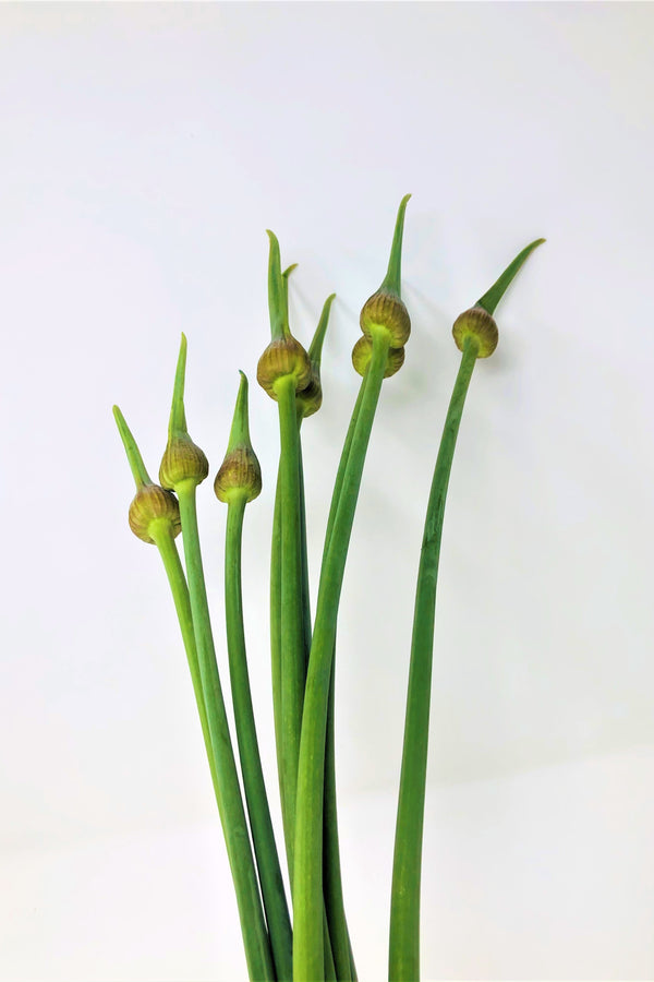Garlic Scrapes - bunch