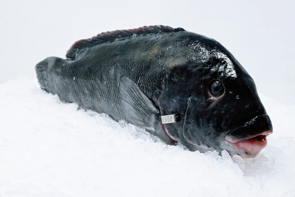 blackfish tautog whole on ice