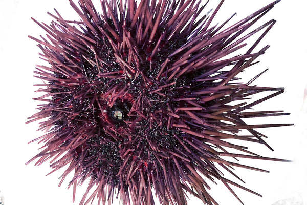 live sea urchin purple